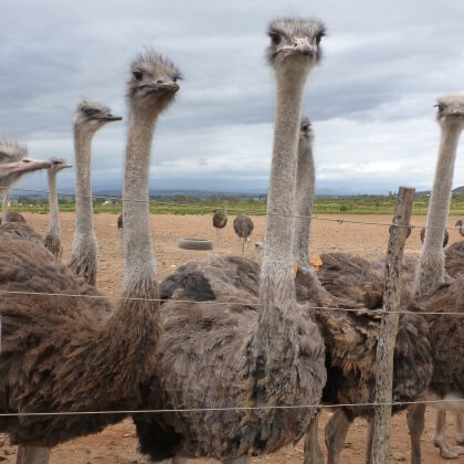 Young Ostriches Butchered for 'Luxury' Bags