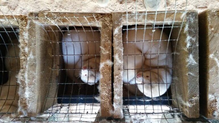 Wisconsin Fur Farm Mink Cage