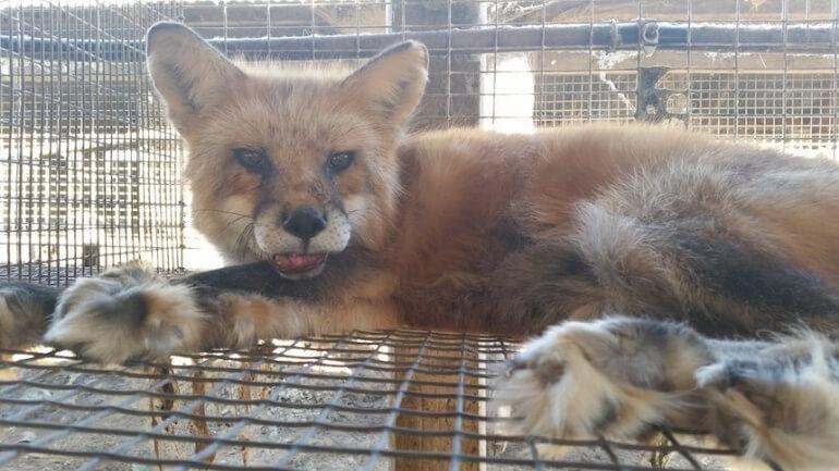 Wisconsin Fur Farm Fox Cage