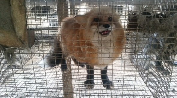 Wisconsin Fur Farm Fox Cage