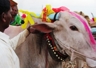 Bullocks and Ponies Face Injuries, Exhaustion and Extreme Thirst at India's Chinchali Fair