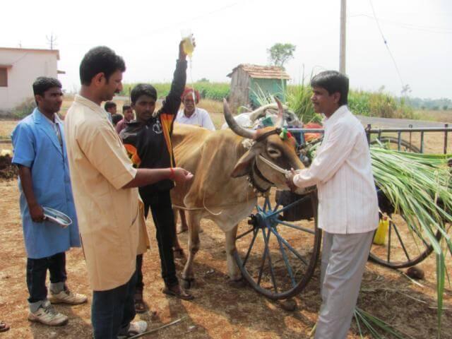 Chinchali Fair Injured bullock