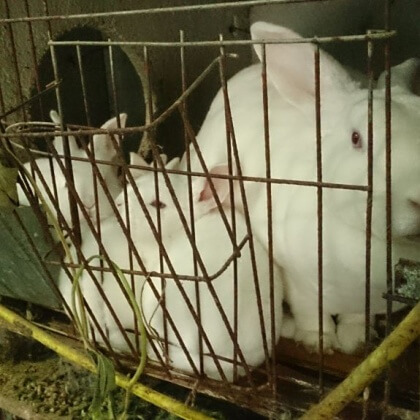 Rabbits Hit, Hung Up and Skinned Alive in the Chinese Fur Trade