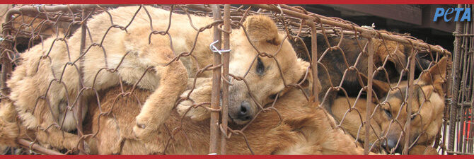 A Dog Bound for Slaughter: Meyli's Story