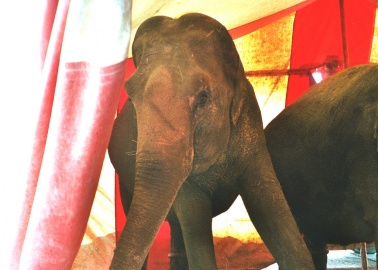 Tragic Story of Circus Elephant Tyke Comes to the West End
