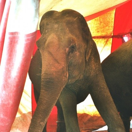 Urge Sweden to Ban All Wild-Animal Circuses