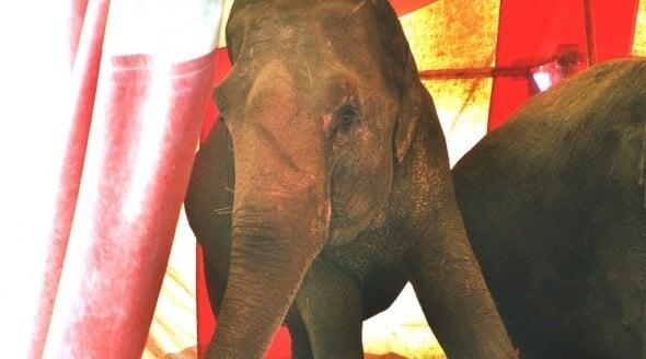 Djuren Ratt Circus Elephant Crop