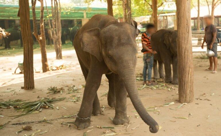 Elephant chains Thailand