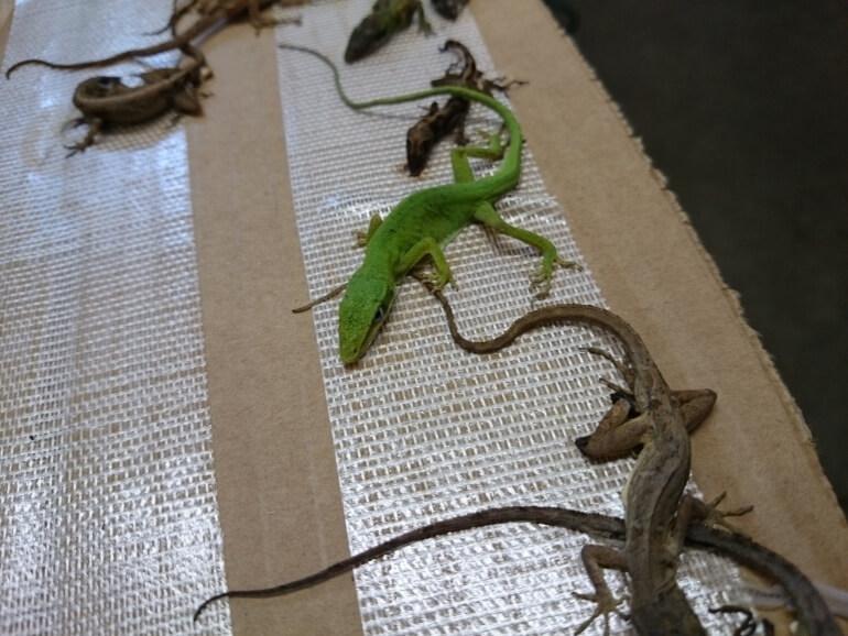 geckos glue trap pet reptile mill