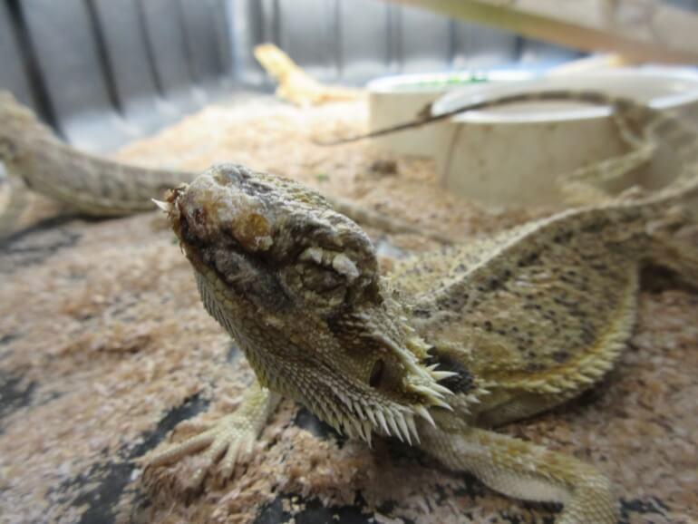 injured reptile pet mill