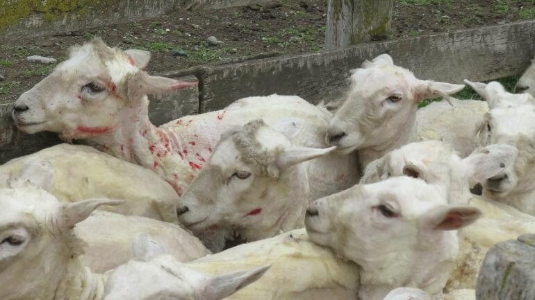 Fast, rough shearing left sheep cut and bleeding.