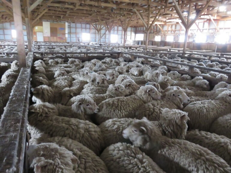 Sheep were packed into tight sheds before being sheared.