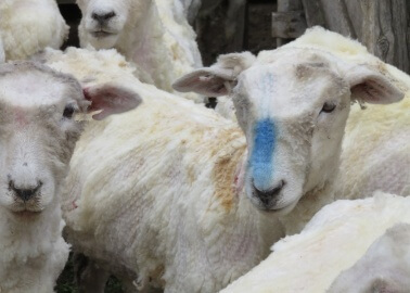 You'll Be Shocked by the Way Wool Is REALLY Produced