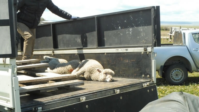 Some lambs' legs were tied, and they were loaded onto a truck bound for slaughter.