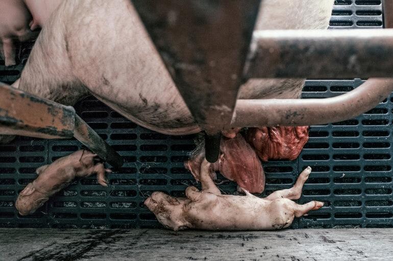 UK pig farm_piglets on grate