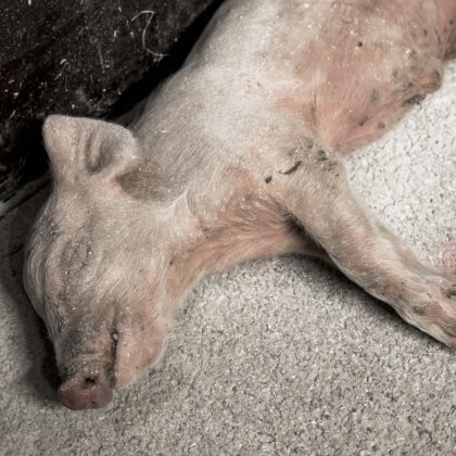 How PETA Helps Animals on UK Farms (and How You Can Get Involved)