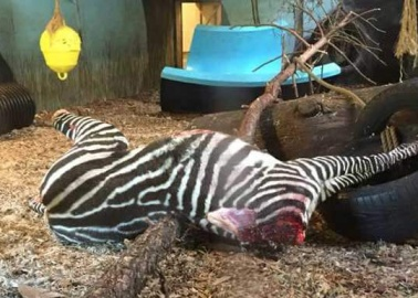 GRAPHIC: Zebra Beheaded and Fed to Tigers at Norway Zoo