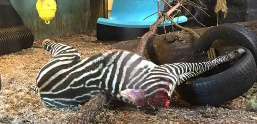 GRAPHIC: Zebra Beheaded and Fed to Tigers at Norway Zoo | PETA UK