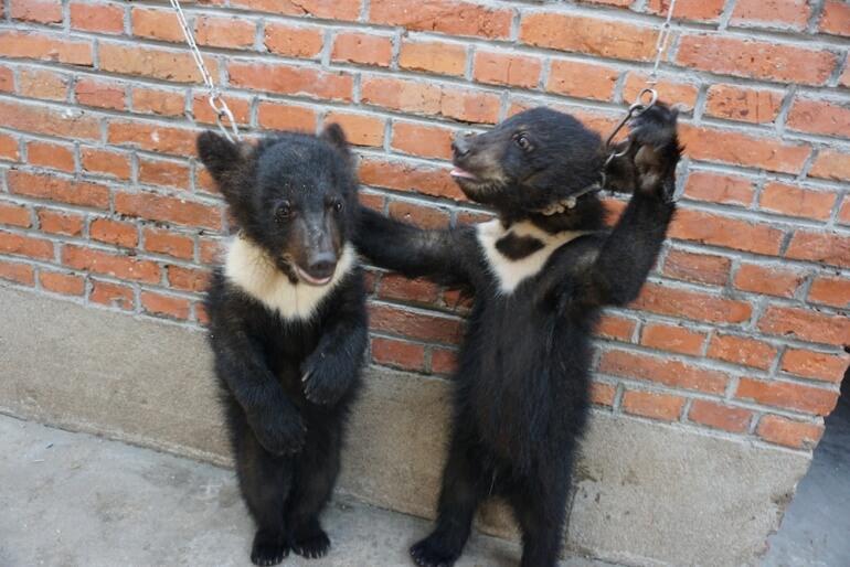 China Circus_2 bears tied to wall