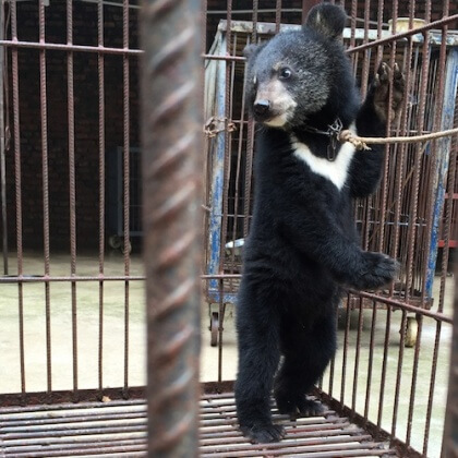 China's Cruel Circuses Exposed: Lions, Tigers and Bear Cubs Hit, Chained and Deprived