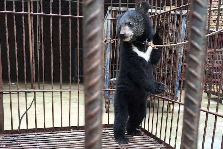 China Circus_Bear tied in cage Cropped