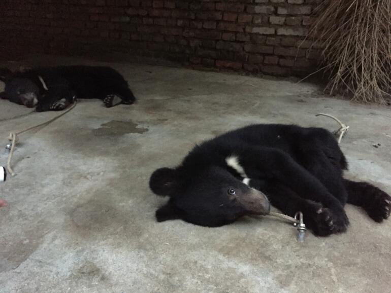 China Circus_Bear tied to floor