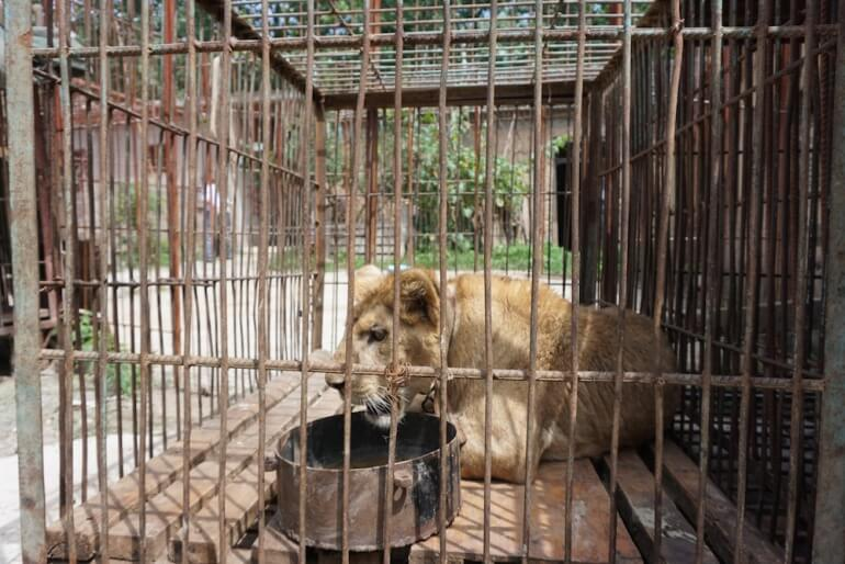 China Circus_Lion in cage with chain
