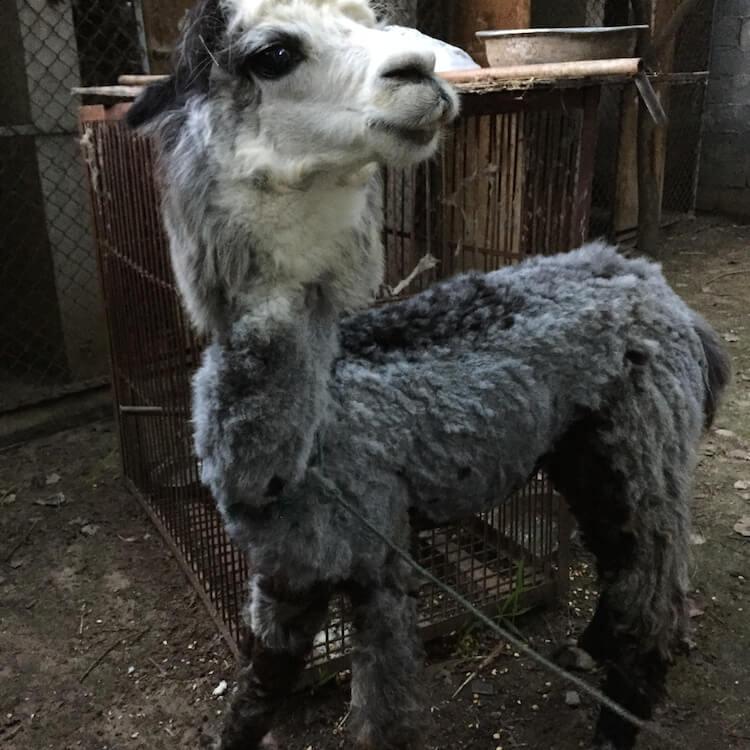 China Circus_Llama Cropped