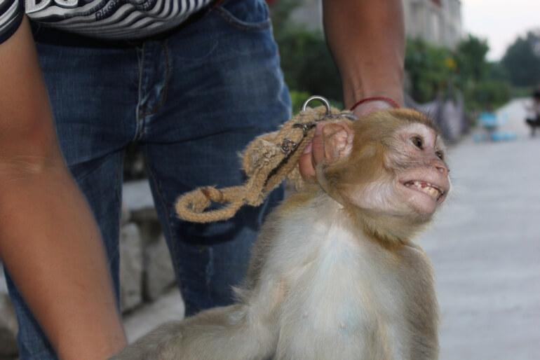China Circus_Monkey with rope round neck