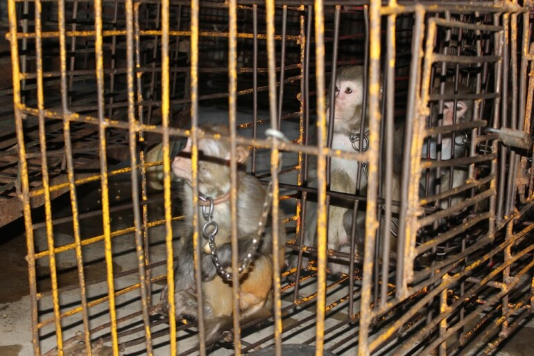 These monkeys were chained and caged when not performing.