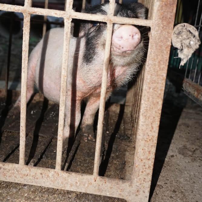 China Circus_Pig Cropped