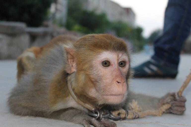 China Circus_Sad monkey