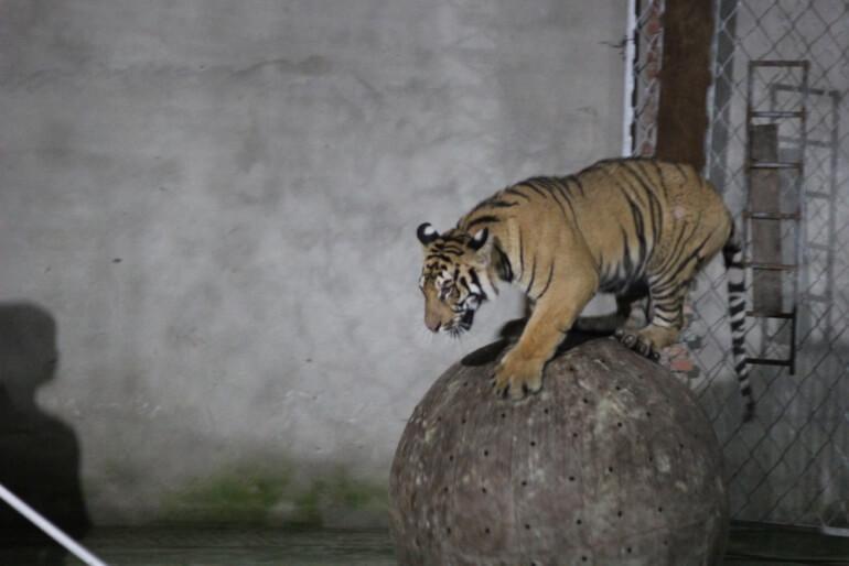 China Circus_Tiger balances on ball