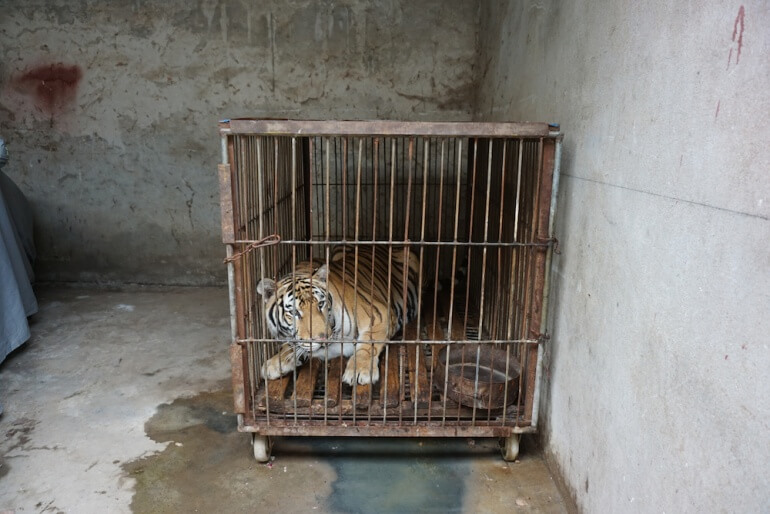 China Circus_Tiger in barren cage