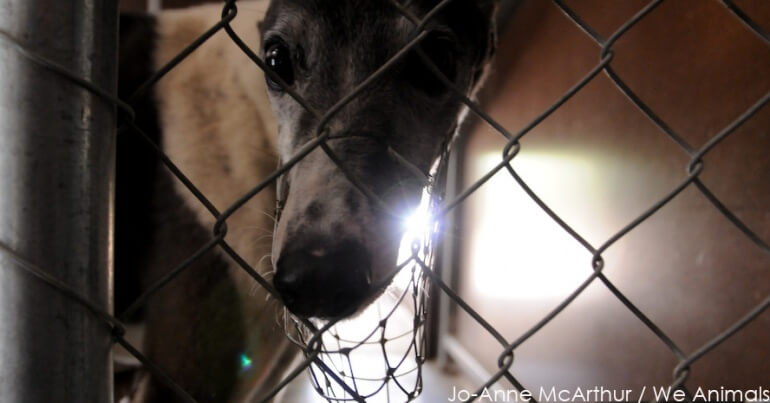 Greyhound Sad WA