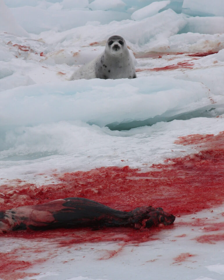Images from the 2009 Seal Hunt & Watch.