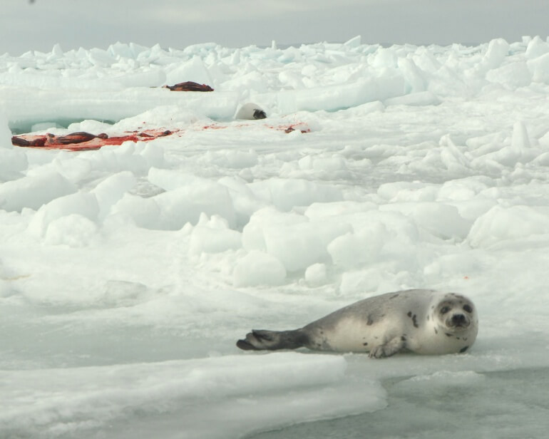 Seal Hunt & Watch 2009