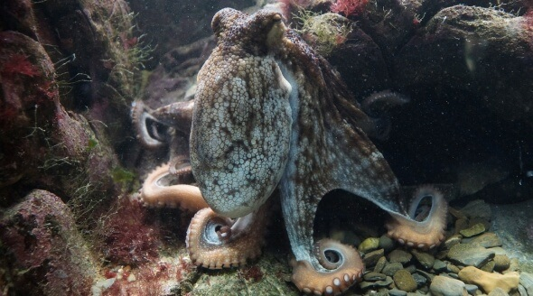 Inky's Great Escape Shows Us Why Octopuses Don't Belong in Aquariums