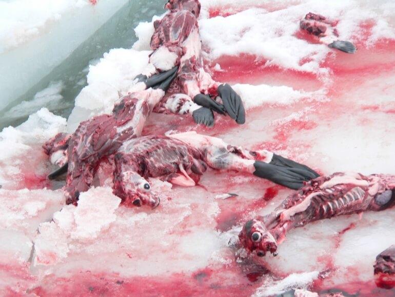 Sea Shepherd CS Dead_seals_1