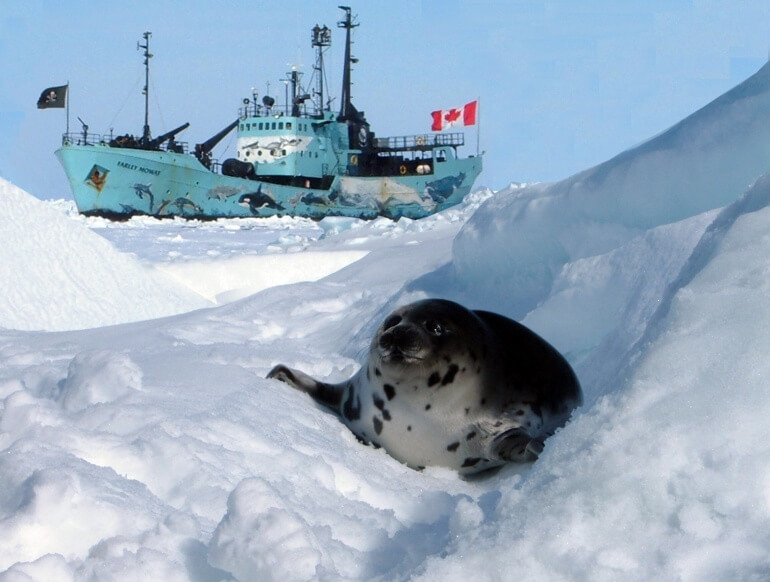 Sea Shepherd CS Harp_seal_near_Sea_Shepherd_ship