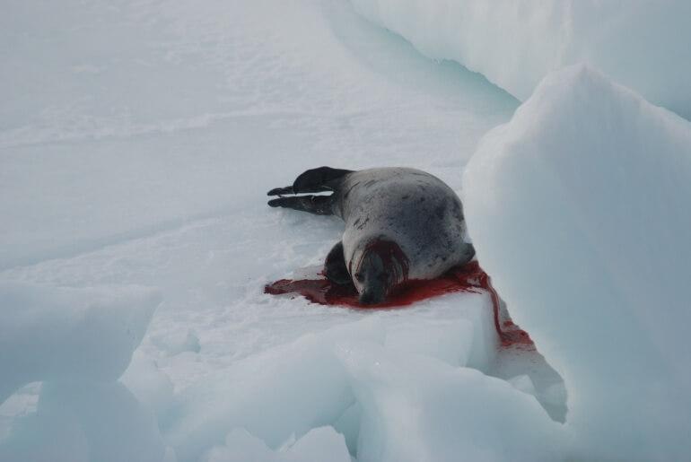 Sea Shepherd CS Seal Hunt `