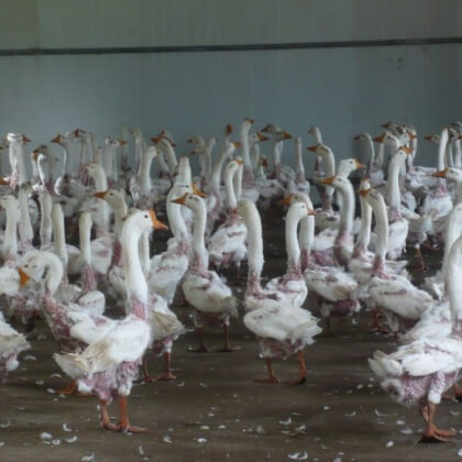 Live Geese Have Their Feathers Ripped Out for Down
