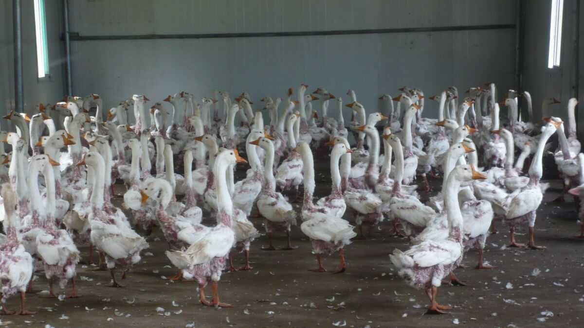 How do you buy geese?