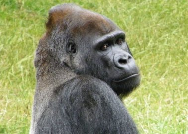 RIP Kumbuka: The Story of a Legendary Gorilla Who Died at London Zoo