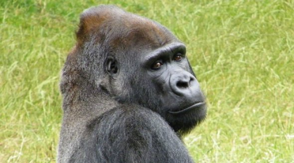 Gorilla Who Escaped London Zoo Enclosure Has Been Returned to His Unhappy Life in Captivity