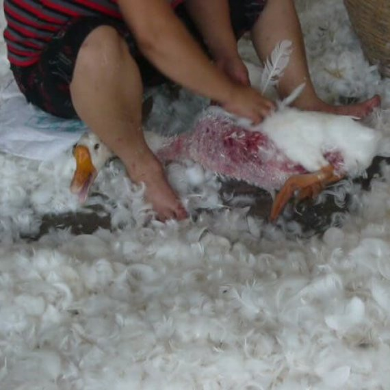 Urge Canada Goose to Stop Selling Feathers From Geese and Fur From Coyotes