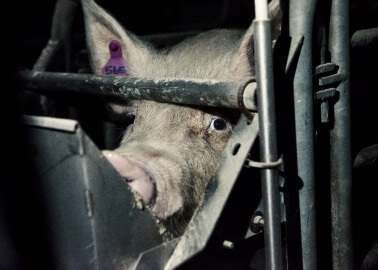 A Disturbing Look Inside a British Pig Farm