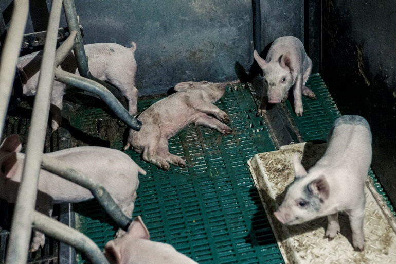 Piglets and one is dead