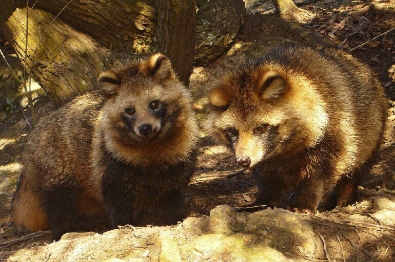 Raccoon Dog Pair