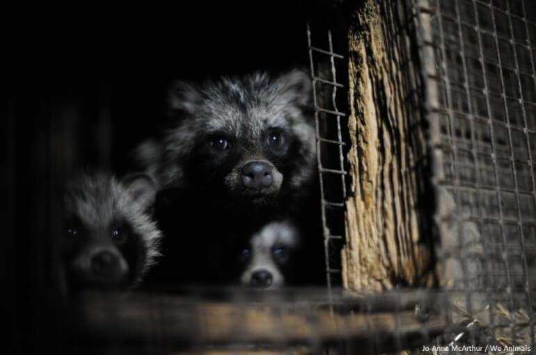 raccoon dog fur farm cage
